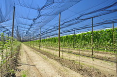 Agriculture - peach tree fruit plantation Stock Photography