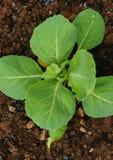 Agriculture Photo d'élever le jeune buisson du chou de chou-fleur dans le jardin images libres de droits