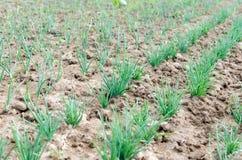 Agriculture Photo d'un jeune oignon croissant dans le jardin Photos stock