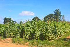 Agriculture plant of cucumber Royalty Free Stock Images