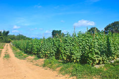 Agriculture plant of cucumber Royalty Free Stock Photo