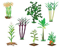 Agriculture plant Royalty Free Stock Image