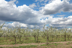 Agriculture, plum orchard Stock Photos