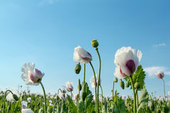 Agriculture poppy field Royalty Free Stock Image