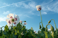 Agriculture poppy field Royalty Free Stock Photo