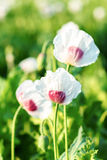 Agriculture poppy field Stock Images