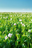 Agriculture poppy field Stock Image