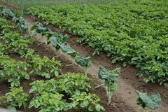 Potatoes plantation from portuguese biologic farm. Agriculture portuguese traditional field with potatoes plantation free of toxics products royalty free stock image