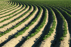 Agriculture potatoes. Extensive rows and furrows with planted potatoes bending to the horizon Royalty Free Stock Photography