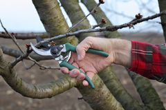 Agriculture, pruning in orchard, farmers hand and tool. Farmer pruning tree in orchard in early spring, closeup of hand and tool Royalty Free Stock Images