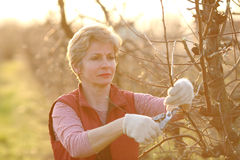 Agriculture, pruning in orchard Royalty Free Stock Photos