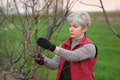 Agriculture, pruning in orchard Stock Photo