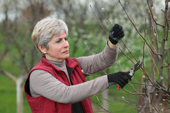 Agriculture, pruning in orchard Stock Photos