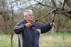 Agriculture, pruning in orchard, senior man working Stock Photography
