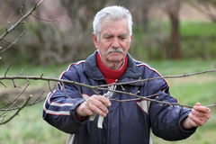 Agriculture, pruning in orchard, senior man working Royalty Free Stock Image