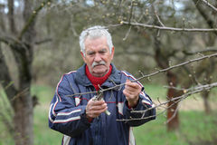 Agriculture, pruning in orchard, senior man working Royalty Free Stock Photos