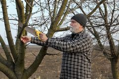 Agriculture, pruning in orchard. Pruning tree in apricot orchard, farmer using handsaw tool Stock Image