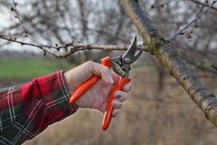 Agriculture, pruning in orchard. Pruning tree in orchard, closeup of hand and tool Royalty Free Stock Photo
