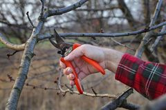 Agriculture, pruning in orchard. Pruning tree in orchard, closeup of hand and tool Stock Photo