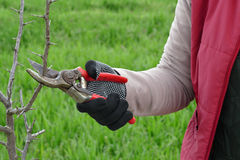 Agriculture, pruning in orchard Royalty Free Stock Photography
