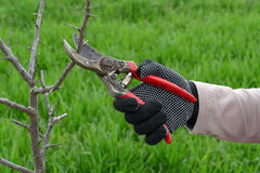 Agriculture, pruning in orchard Stock Images