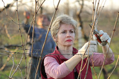Agriculture, pruning in vineyard Royalty Free Stock Image
