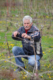 Agriculture, pruning in vineyard, senior man working Stock Photography
