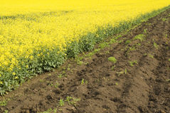 Agriculture, rape crops field Royalty Free Stock Images