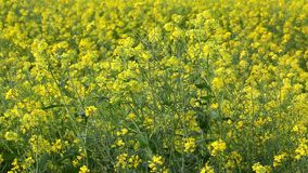 Agriculture rape seed plant, canola field Royalty Free Stock Photography