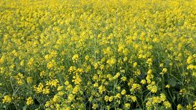 Agriculture rape seed plant, canola field stock video footage