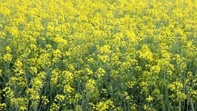 Agriculture rape seed plant, canola field Stock Photos
