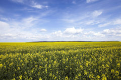 Agriculture. rape. Spring. Agricultural field on which grow yellow rapeseed flowers. Spring. blue sky Stock Photos