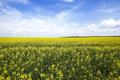 Agriculture. rape. Spring. Agricultural field on which grow yellow rapeseed flowers. Spring. blue sky Royalty Free Stock Photography