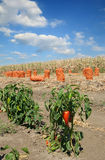 Agriculture, red paprika in field Stock Images