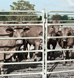 Agriculture restrained beef cattle in corral Royalty Free Stock Images