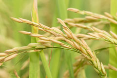 Agriculture rice Royalty Free Stock Images