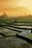 Agriculture  rice field Landscape Stock Photos
