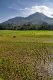 Agriculture Rice field Landscape Royalty Free Stock Image