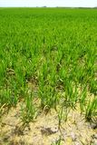 Agriculture rice field perspective spain Valencia Stock Photo
