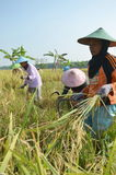 Agriculture Rice Field Worker Stock Image