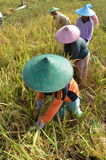 Agriculture Rice Field Worker 04 Stock Image