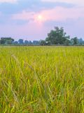 Agriculture in rice fields. Agriculture rice fields farm farming farmland tropical tree season vegetation  ryside outdoor colorful green grass landscape nature stock photo