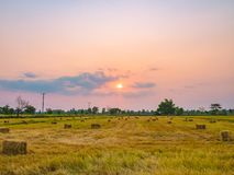Agriculture in rice fields royalty free stock photography