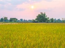 Agriculture in rice fields. Agriculture rice fields farm farming farmland tropical tree season vegetation  ryside outdoor colorful green grass landscape nature stock image