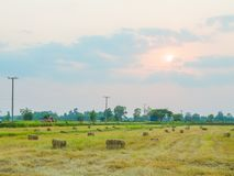 Agriculture in rice fields royalty free stock photo