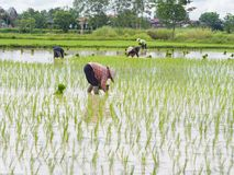 Agriculture in rice fields royalty free stock images