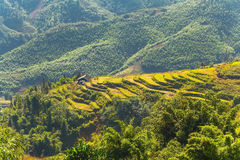 Agriculture Rice fields on terraced Vietnam Stock Images