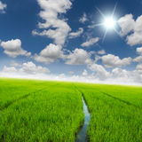 Agriculture rice green field and blue sky Royalty Free Stock Image