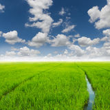 Agriculture rice green field and blue sky Royalty Free Stock Images