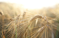 Agriculture ripe rye wheat summer Royalty Free Stock Photo